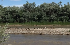 Animas River and geese